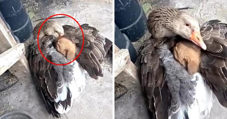 Goose Saves Shivering Puppy From Freezing Weather By Warming Him Under Its Wings